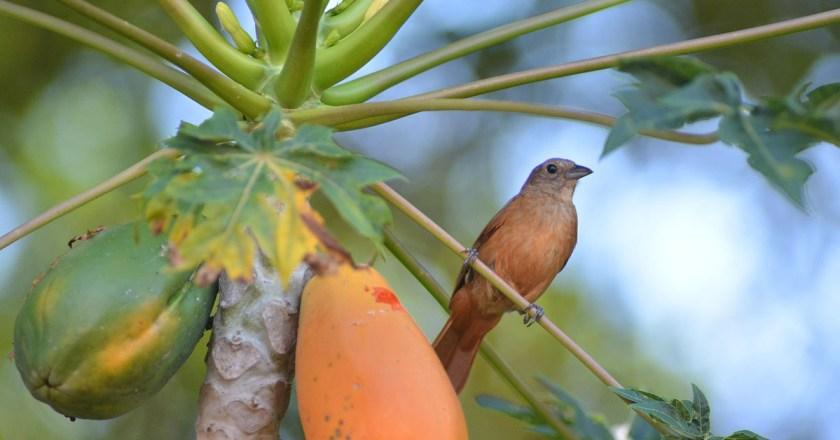 use of papaya seeds