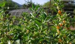 Ashwagandha tea leaves