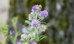 Uses of alfalfa
