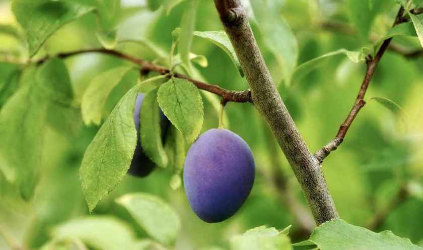 side effects of plum