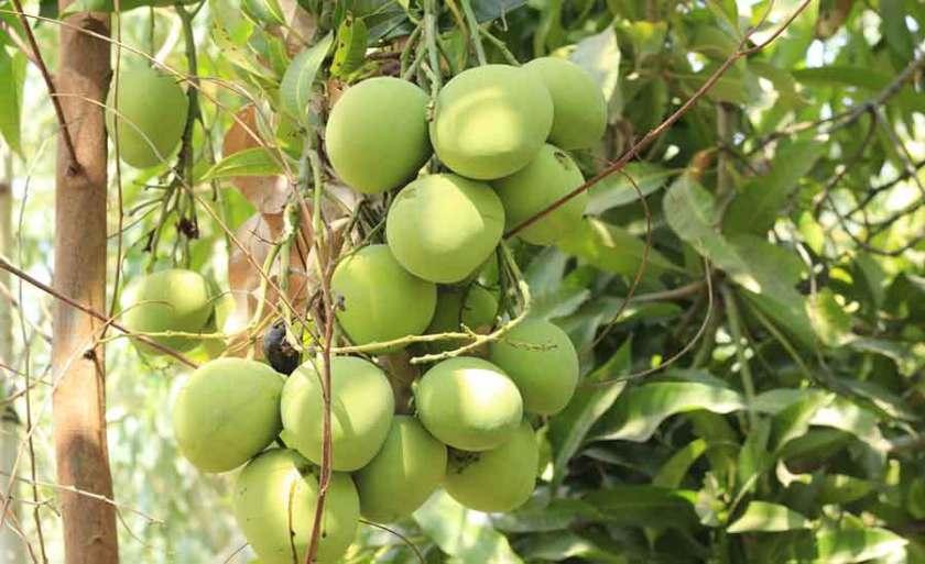 Mangoes Benefits