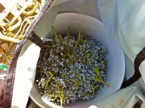 Elderberries in a bucket