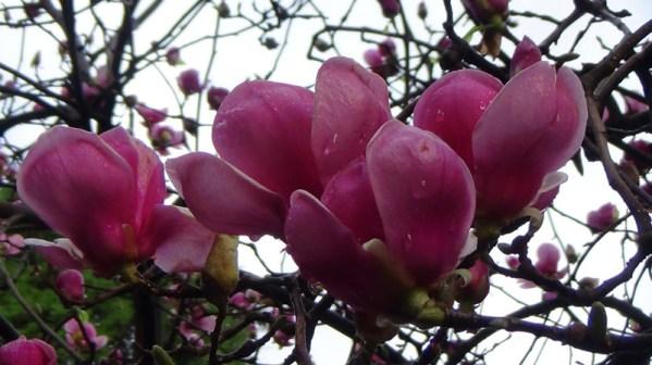 Magnolia soulangiana 4