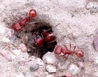 Harvester_ants