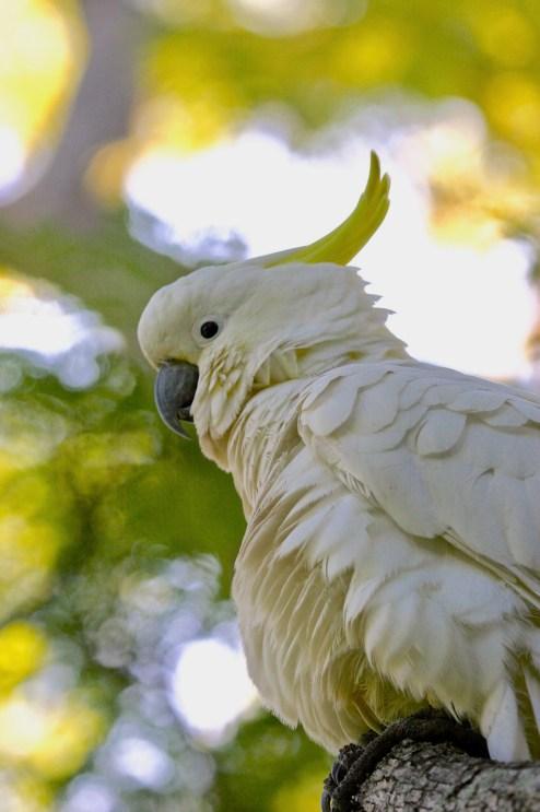 da suphur-crested cockatoo cacatua galerita