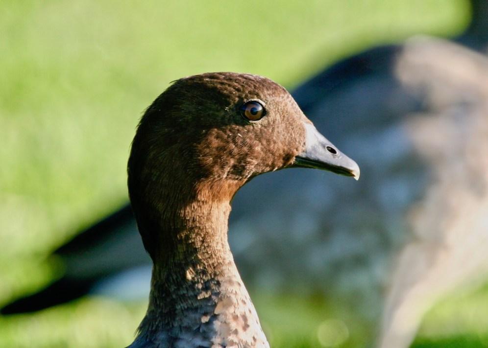 australian wood duck maned duck chenonetta jubata