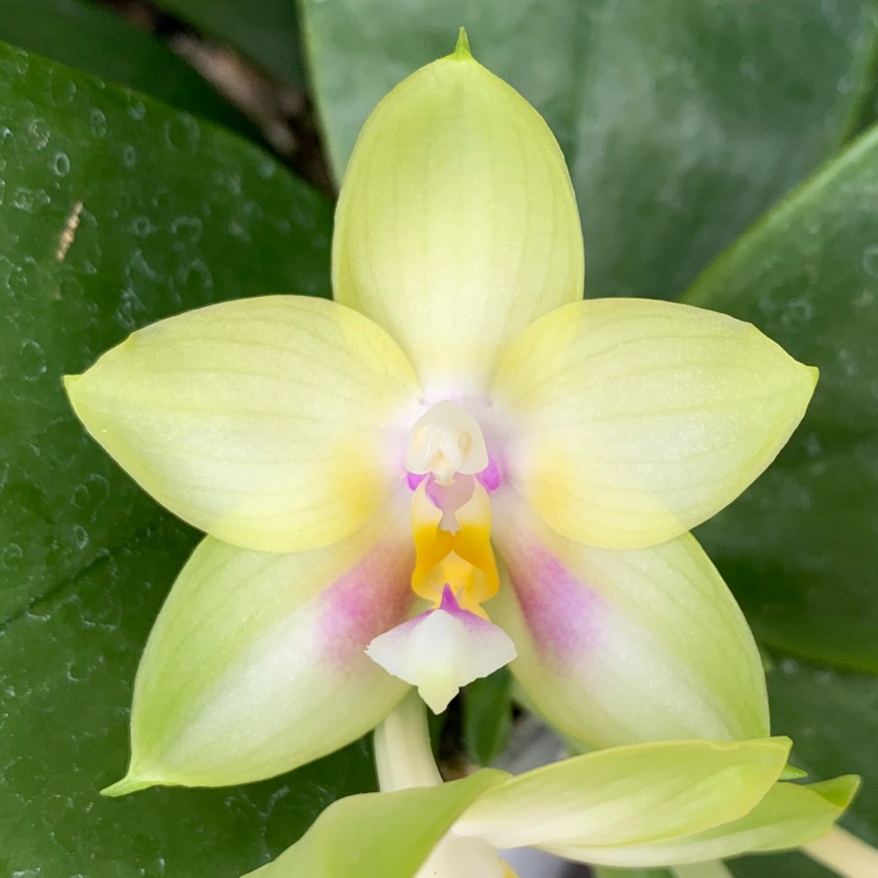 Phalaenopsis Kingfisher Lemon Drop - bloom #7