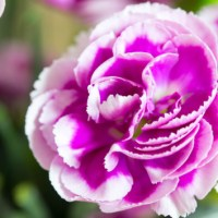 How to Grow to Love this Year's 'Lucky' Flower: the Carnation