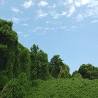"Kudzu: ""The Vine That Ate the South"""