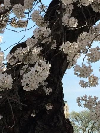 Cherry trees in full bloom in Washington, DC.