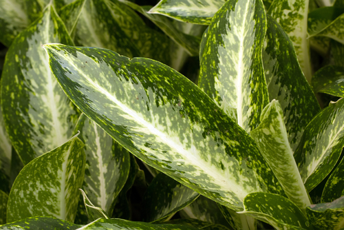 Chinese evergreen 'Silver Queen'