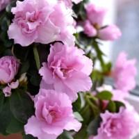 12 Top Flowering Houseplants for Easy-Care Blooms Indoors