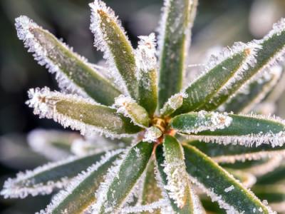 evergreen.frozen yew
