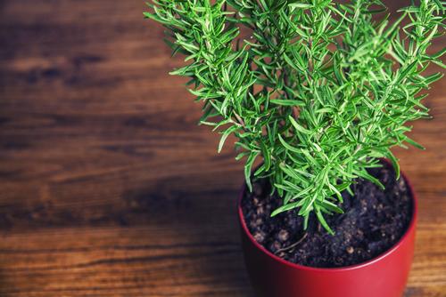 herbs.rosemary in pot