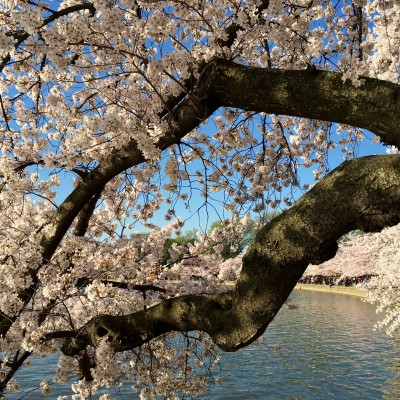 Cherry blossoms and old branches on Washington, DC's Tidal Basin.