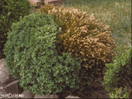 Fungal damage on boxwood