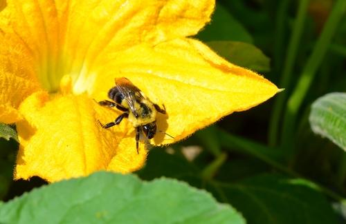 squash bee