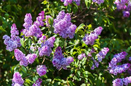 lilac bush 2