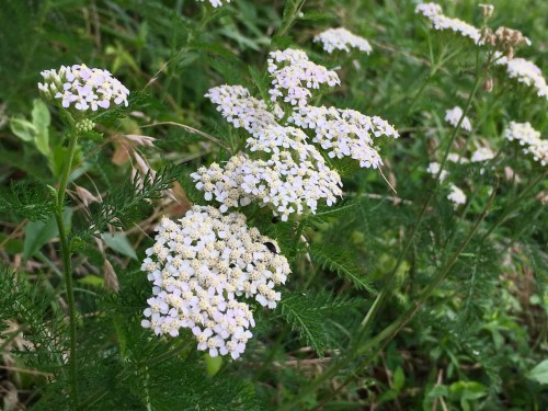 White yarrow/Here By Design