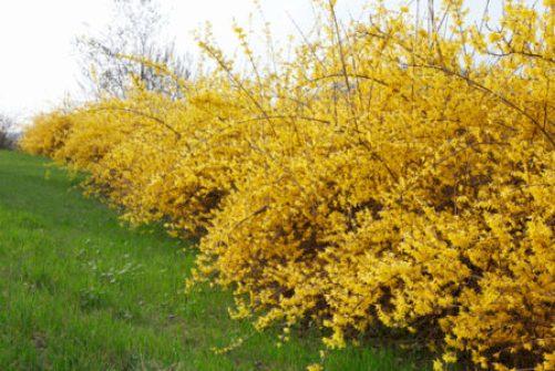 Golden yellow Forsythia x intermedia