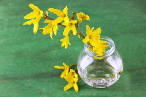 Forced forsythia blooms in a glass vase