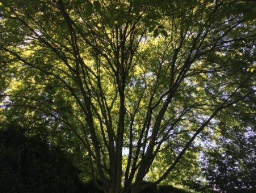 Yellowwood tree/Photo: Here By Design