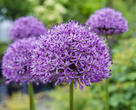 having a ball with alliums ornamental onions here by. Black Bedroom Furniture Sets. Home Design Ideas