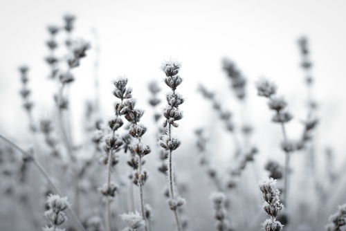 Frozen lavender flowers