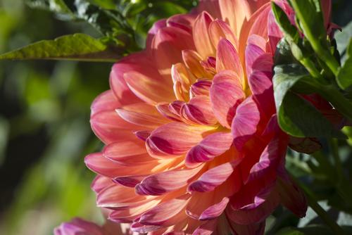 waterlily dahlia 'Pam Hayden'