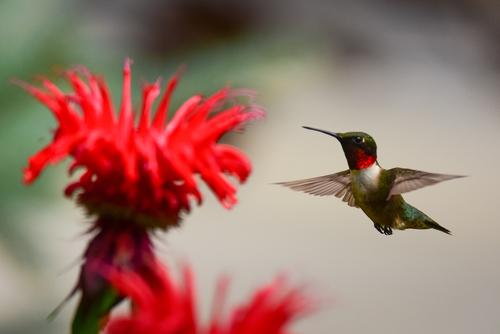Hummingbird and monarda flower head