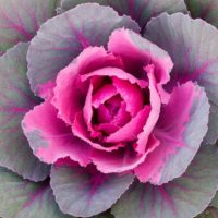 Flowering Kale: The Coolest Cool-Season Ornamental