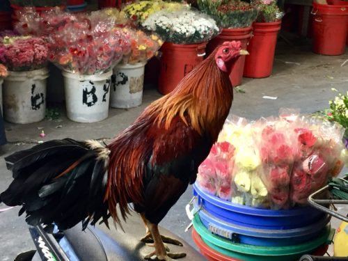 Fighting cock on motorbike at Saigon flower market