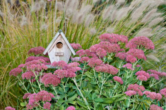 sedum autumn joy in the garden