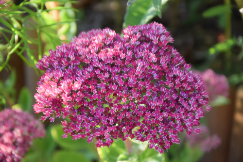 sedum autumn joy flowers