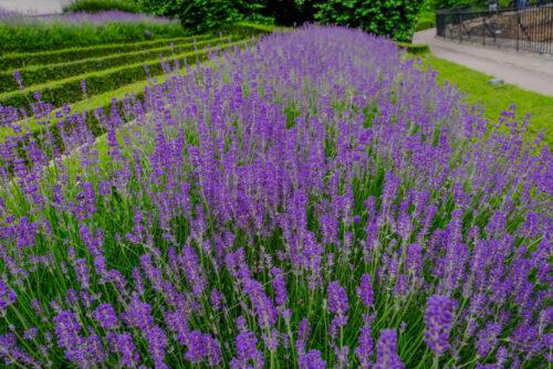 Lavender hedge row