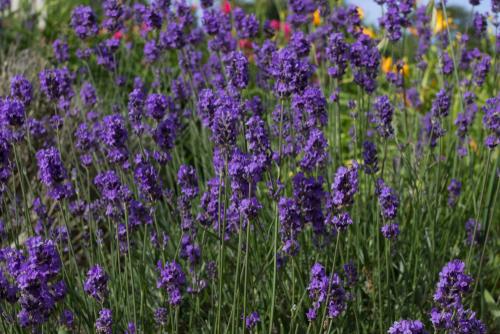 lavender augustifolia Munstead