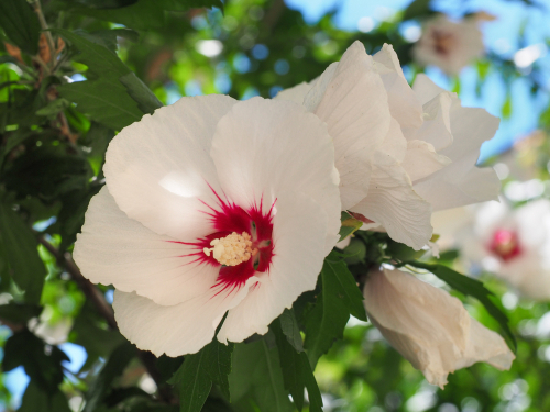 edible flower white hibiscus