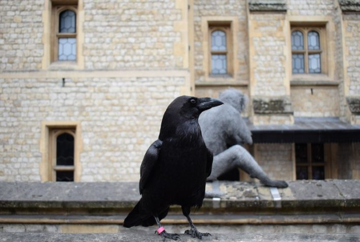 Ravens of teh Tower of London