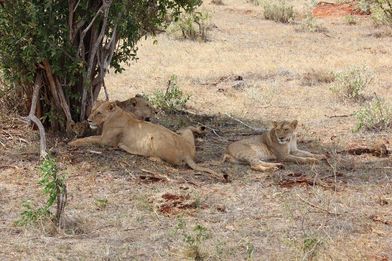 A Lion Pride, Tsavo East National Park, Kenya