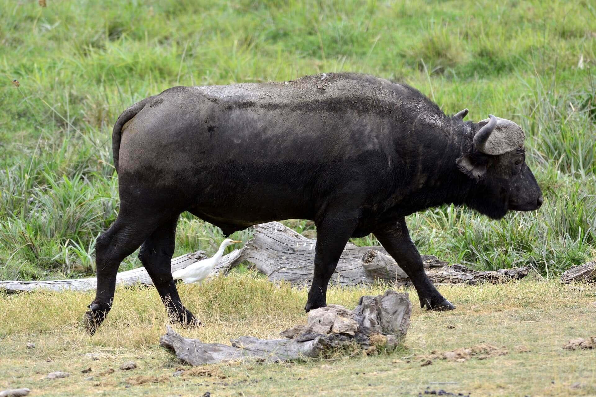 Buffalo, Amboseli National Park