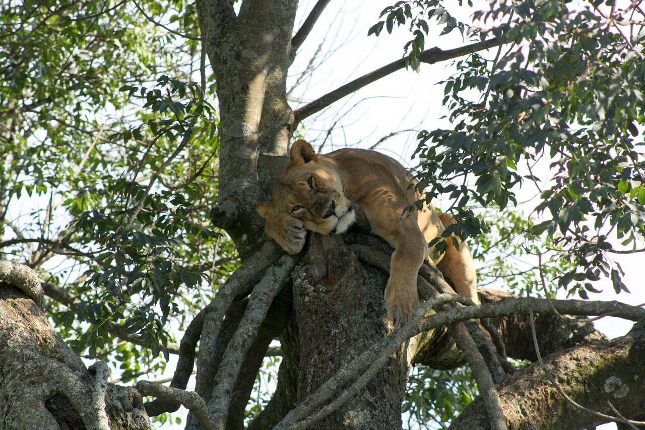 Lioness at Lake Nakuru National Park