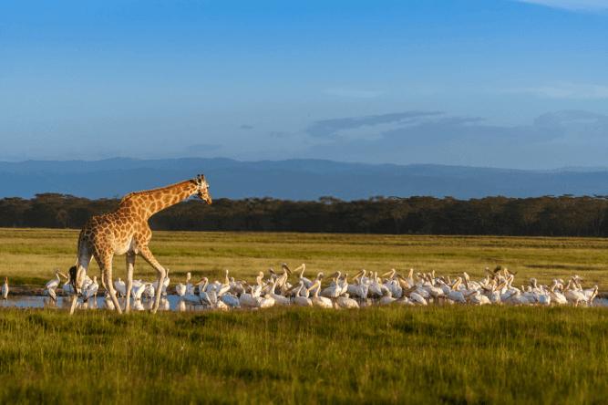 Rothschild's Giraffe and pelicans at Lake Nakuru