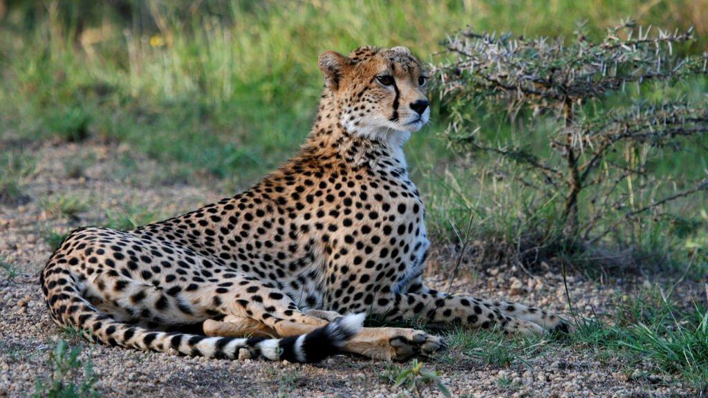 Cheetah - Ol Jogi Wildlife Conservancy
