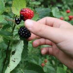 Hand picking a ripe blackberry