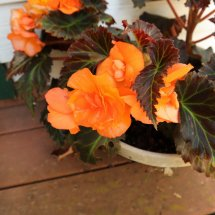 Potted apricot begonia