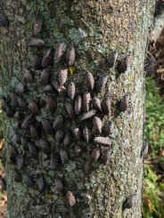Spotted lanternflies swarming on a tree