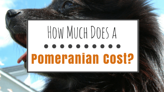 How Much Does a Pomeranian Cost