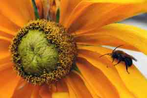 Bee on Prairie Sun rudbeckia