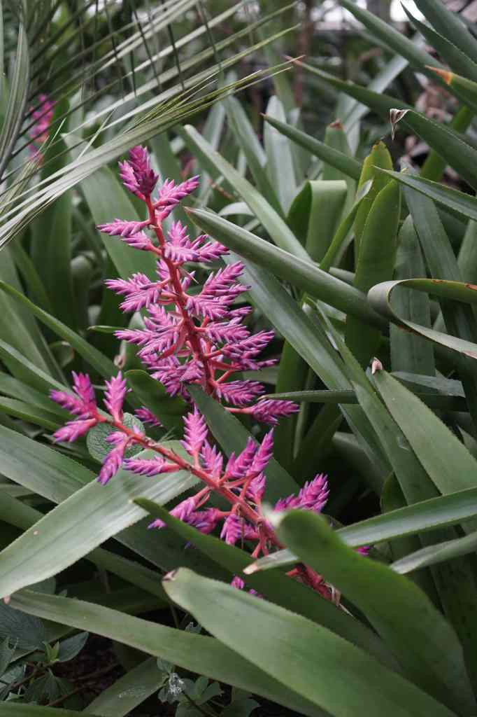 Garfield Park Conservatory neon pink bromeliad