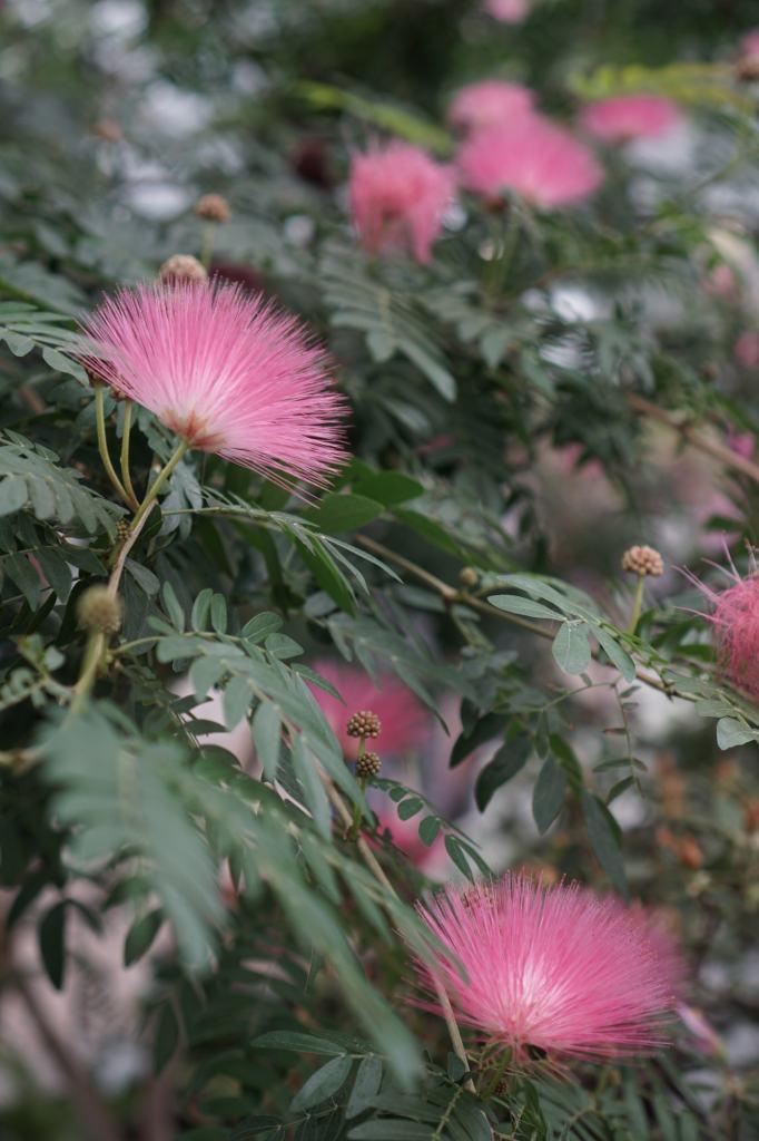Garfield Park Conservatory Powder Puff flower